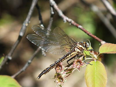 Photograph - Dragonfly Up Close by Gene Cyr