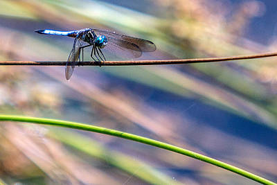 Summer Photograph - Dragonfly Walking A Tightrope by John Haldane