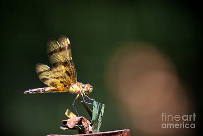 Photograph - Dragonfly by Wayne Valler