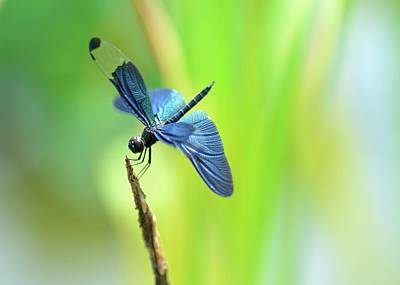 Insect Photograph - Dragonfly With Blue Wings by Myu-myu