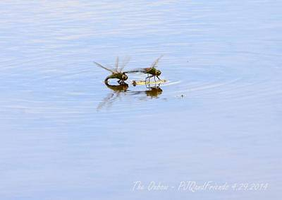 Dragonflys Photograph - Dragonflys by PJQandFriends Photography