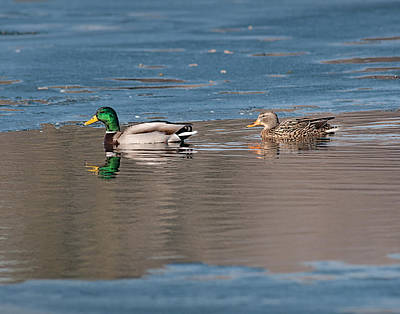 Photograph - Drake And Hen Mallard by Don Wolf