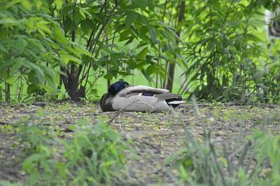 Ducks Photograph - Drake Mallard Resting by Robert Smice