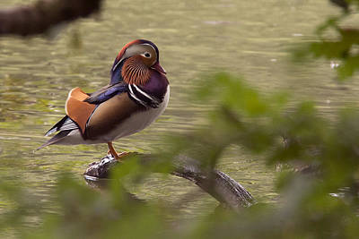 Photograph - Drake Mandarin Duck by Tony Mills
