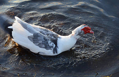 Photograph - Drake Muscovy Duck by rd Erickson