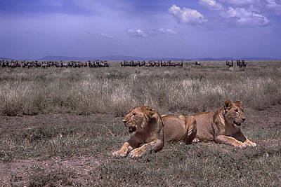 Lion In Waiting Photograph - Drama On The Serengeti by Gary Hall