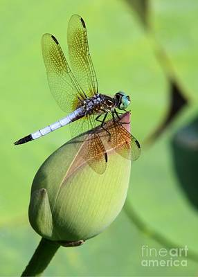 Dragon Fly Photograph - Dramatic Dragonfly by Sabrina L Ryan