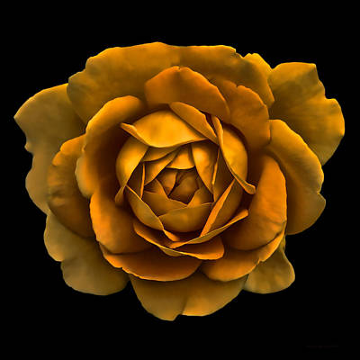 Photograph - Dramatic Golden Rose Portrait by Jennie Marie Schell