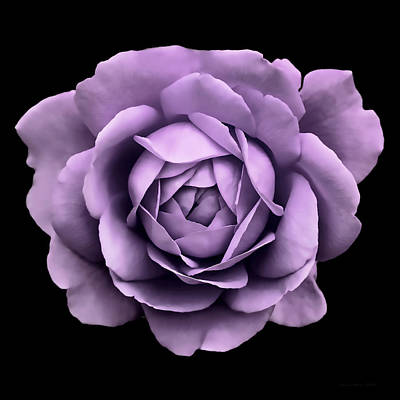 Light And Dark Photograph - Dramatic Lavender Rose Portrait by Jennie Marie Schell