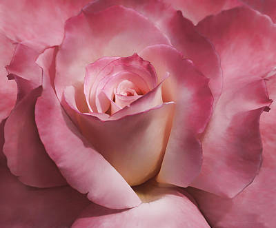 Photograph - Dramatic Mauve Cream Rose Flower by Jennie Marie Schell