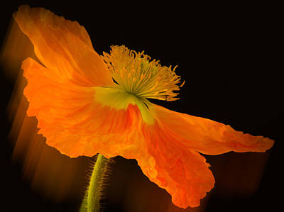 Dramatic Orange Poppy Art Print by Don Schwartz