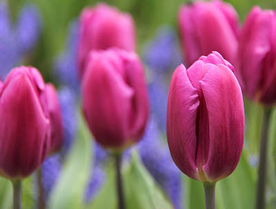 Photograph - Dramatic Pink Tulips In The Garden by Jennie Marie Schell
