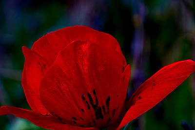 Dramatic Poppie Art Print