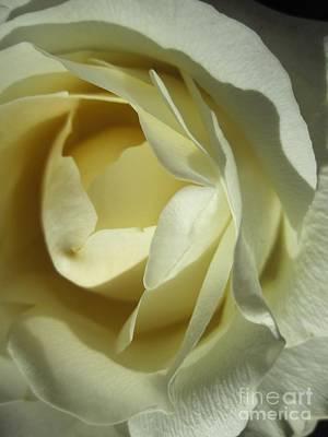 Photograph - Dramatic White Rose 4 by Tara  Shalton