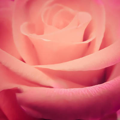 Photograph - Dream Rose by Roxy Hurtubise