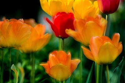 Photograph - Dream Tulips by Michael Hubley