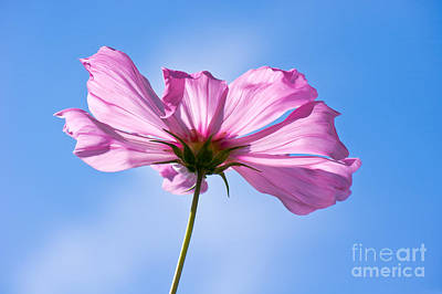Cosmea Photograph - Dreamer by Angela Doelling AD DESIGN Photo and PhotoArt