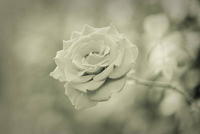 Photograph - Rose - Dreamers Garden Series by Marco Oliveira