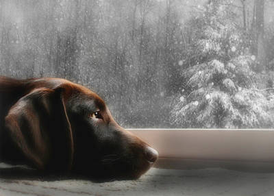 Chocolate Lab Photograph - Dreamin' Of A White Christmas by Lori Deiter