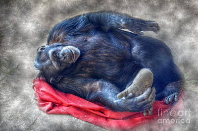 Photograph - Dreaming Of Bananas Chimpanzee by Peggy Franz