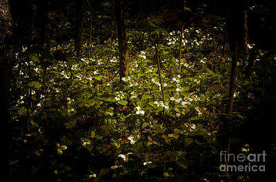Photograph - Dreamscapes - Trillium Gathering by Kathi Shotwell