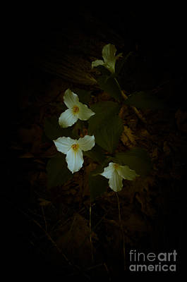 Photograph - Dreamscapes - Trilliums 2 by Kathi Shotwell