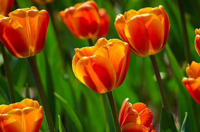 Photograph - Dreamsicle Tulips by Tikvah's Hope