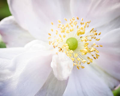 Anemone Photograph - Dreamy Anemone by Priya Ghose