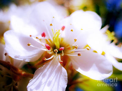 Photograph - Dreamy Cherry Blossom by Nina Ficur Feenan
