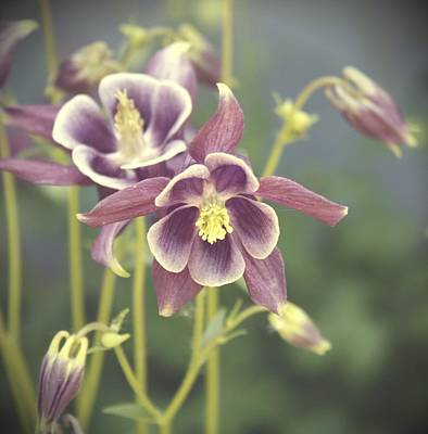 Digital Art - Dreamy Columbine Flowers by Cathie Tyler