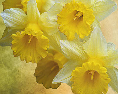 Photograph - Dreamy Daffodils by TnBackroadsPhotos