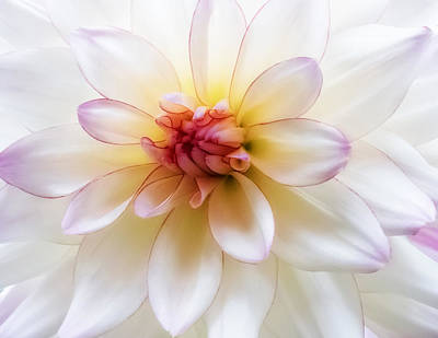 Photograph - Dreamy Dahlia by Mary Jo Allen
