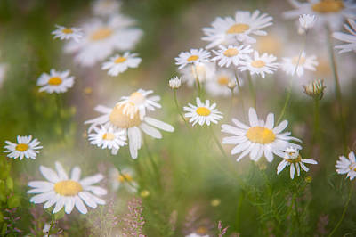 Photograph - Dreamy Daisies On Summer Meadow by Jenny Rainbow