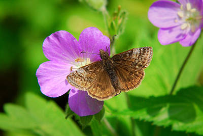 Photograph - Dreamy Duskywing Skipper by Christina Rollo