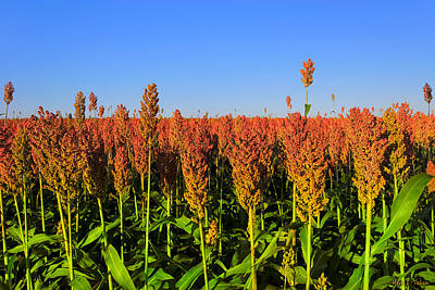 Photograph - Dreamy Field Of Sorghum In The Afternoon Sun by Mark E Tisdale