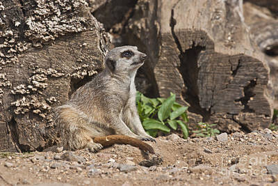 Photograph - Dreamy Meerkat by Terri Waters