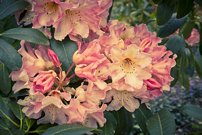 Photograph - Dreamy Peach Colored Rhododendron by Priya Ghose