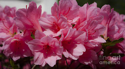 Floral Photograph - Dreamy Pink Azalea by Teresa Mucha