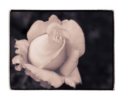Dreamy Rose No. 1 Original
