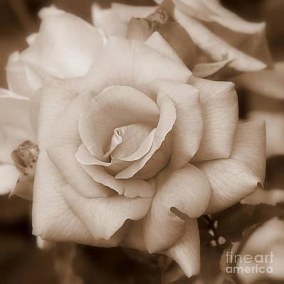 Dreamy Sepia Nature Photograph - Dreamy Sepia Rose - Square by Carol Groenen