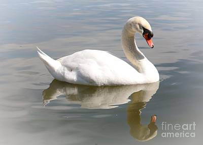 Swans Photograph - Dreamy Swan With Vignette by Carol Groenen