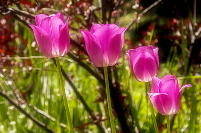 Photograph - Dreamy Tulips by Celso Bressan