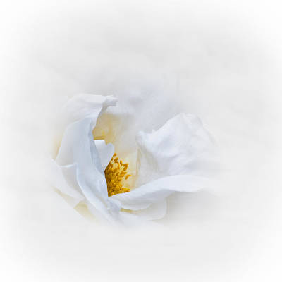 Photograph - Dreamy White Rose by Jane McIlroy