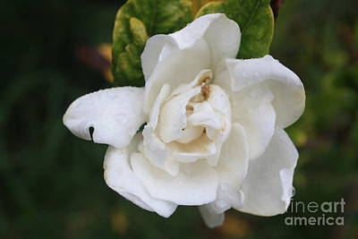 Photograph - Drenched Gardenia by Amanda Holmes Tzafrir