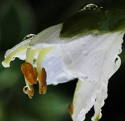Gallery Website Photograph - Drenched In White II Hosta Flower Macro by Rosemarie E Seppala