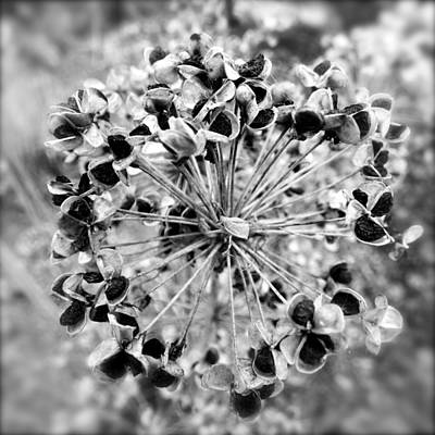 Photograph - Dried Allium Seed Head by Jean Wright