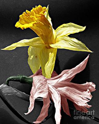 Art Print featuring the photograph Dried Daffodils by Nina Silver