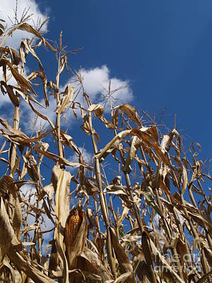 Cornfield Photograph - Dried Field Corn In Kutztown Pa by Anna Lisa Yoder