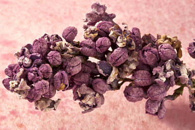 Lilacs Photograph - Dried Lilac Blossom Macro  by Sandra Foster