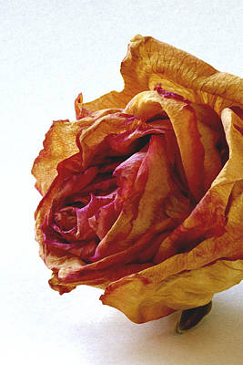 Photograph - Dried Rose by Michael Moschogianis